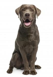 Dog_shutterstock_78058711 (4)