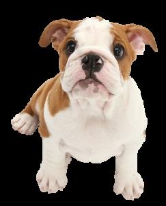 Puppy_FBulldog2
