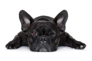 dog_lyingdown_shutterstock_290968928