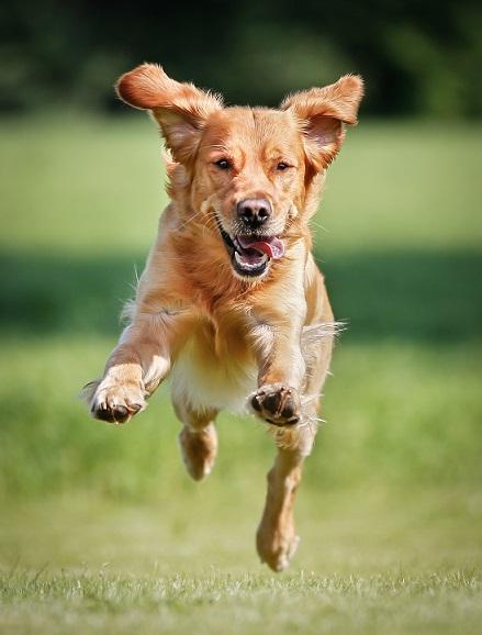 Dog_GRetrieverRunning_shutterstock_258927395