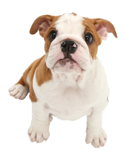 Puppy_FBulldog2
