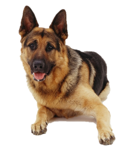 Dog_GermanShepherd